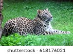 persian leopard or caucasian...   Shutterstock . vector #618176021
