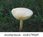 Mushroom Growing Wild In The...