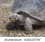 Small photo of Aldabra tortoise close up with a mean eye and a bloodied nose against dried leaves and grass background.