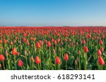 Field With Tulips At Sunrise I...