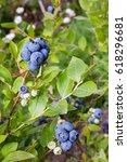 Gardening Blueberries. Berry...