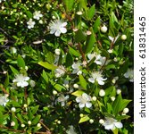 Small photo of Myrtus myrtle - Plantae Angiosperms Eudicots Rosids Myrtales Myrtaceae