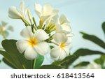 plumeria on the plumeria tree ... | Shutterstock . vector #618413564
