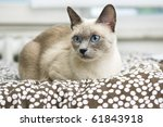 Stock photo a beautiful bluepoint siamese cat laying on a bed with a brown and white polkadot comforter 61843918