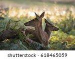 Family Group Herd Of Red Deer...