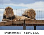 Lions Chuck and Norris, saved from the canned hunting industry, showing their manes