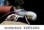 Crayfish With Babies