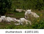 Pack of arctic wolves on a meadow (Canis lupus arctos) - stock photo