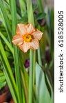 Small photo of Orange daffodil flower plant, Narcissus from Amaryllidaceae (amaryllis) family, close up.