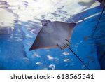 Stingray Fishes Swimming Free