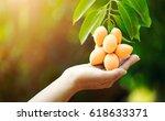 mayongchid maprang marian plum... | Shutterstock . vector #618633371