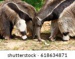 giant anteater  myrmecophaga... | Shutterstock . vector #618634871