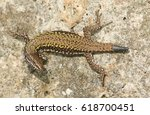 A Beautiful Wall Lizard ...