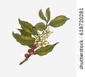 coffee tree illustration.... | Shutterstock .eps vector #618720281