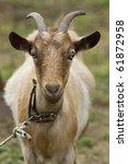 Portrait  Goat.