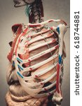 Small photo of Anatomy human body model