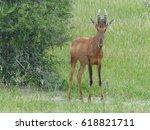 Small photo of Red Hartebeest, lat.: Alcelaphus buselaphus caama or Alcelaphus caama, North of Namibia, Etosha Pan / Africa