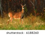 A White Tail Deer Just Emerging ...