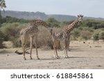 Giraffe Smelling Other Giraffe...
