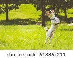 Dog Springs Into Action Jumpin...
