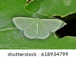 An Emerald Moth Roosts On An...