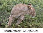 Profile Of Lioness In Grasses...