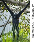 Small photo of Agile gibbon male close up in the nature.