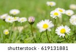 Spring Time In Nature Bellis...