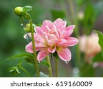 Pretty Pink Dahlia Flower And...
