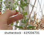 Small photo of A hand checking a leaf of a aloysia plant in a balcony. This plant is used to make tea.