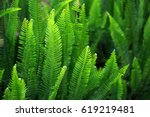 Nephrolepis Exaltata  The Swor...