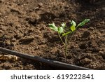 tomato seedling planted in the... | Shutterstock . vector #619222841
