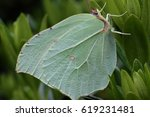 Common Brimstone Butterfly Or...