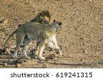 african lion in kruger national ... | Shutterstock . vector #619241315