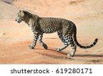 wild sri lankan leopard in the...   Shutterstock . vector #619280171