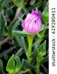 Small photo of hottentot, ice plant, highway ice plant or pigface