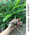 Small photo of Galanga plant (Alpinia, Zingiberaceae) has been dug from ground, very fresh cut from the garden, the popular herb for Thai cooking menu.