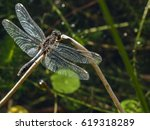 Dragonfly Lilypad Whiteface ...