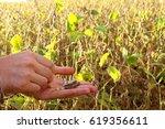 a farmer holds soya beans on... | Shutterstock . vector #619356611