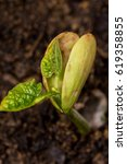Small photo of Lima Bean sprouting from soil