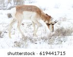 Small photo of Pronghorn (American antelope) browsing through sagebrush.
