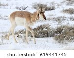 Small photo of Pronghorn (American antelope) walking through sagebrush.