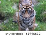 tiger waiting for meat | Shutterstock . vector #61946632