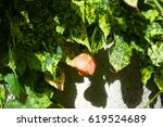 Small photo of Abutilon (Abutilon pictum) Thompsonii flowers blosom
