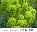 Small photo of Euphorbia characias (Mediterranean spurge or Albanian spurge) is a species of flowering plant in the Euphorbiaceae family.