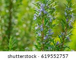 Blossoming Rosemary Plants On...