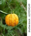 Small photo of Seville orange, sour orange, bigarade orange, or marmalade orange refers to a citrus tree (Citrus × aurantium). Rutaceae family