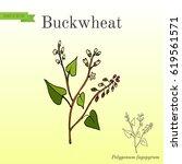 buckwheat polygonum fagopyrum... | Shutterstock .eps vector #619561571