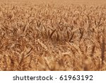 wheat field | Shutterstock . vector #61963192
