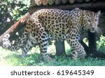 chinese leopard or north china... | Shutterstock . vector #619645349
